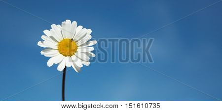 Daisy (Leucanthemum vulgare) a summer flower isolated on blue sky with a litle insect.