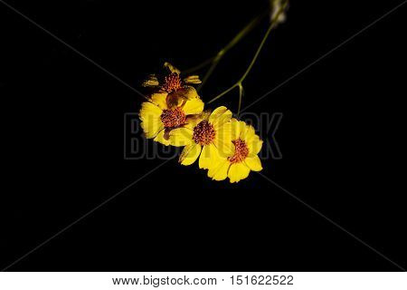 Elegant black background with desert brittle bush blossoms and fresh dew