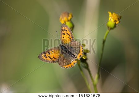 Small Copper (Lycaena phlaeas) butterfly resting on a flower with open Wings