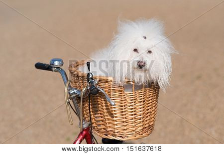 Beautiful And Adorable Bichon Frise Dog In The Basket