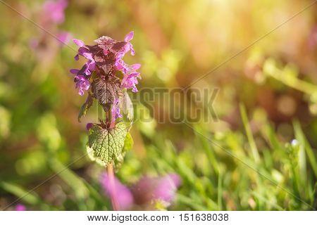 Purple Nettle Blooming In The Field