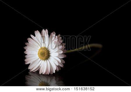 Daisy Flower Isolated On A Black