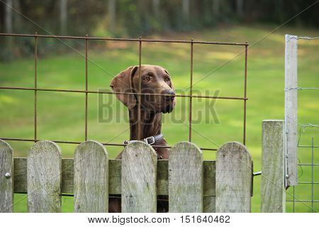 German Shorthaired Pointer female looking over a fence