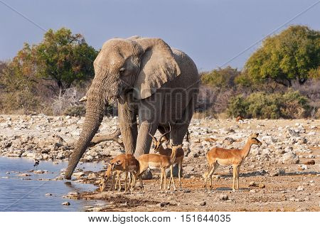 Group of Impalas and a male elephant drinking in a waterhole in the Etosha National Park in Namibia; Concept for travel in Africa and safari