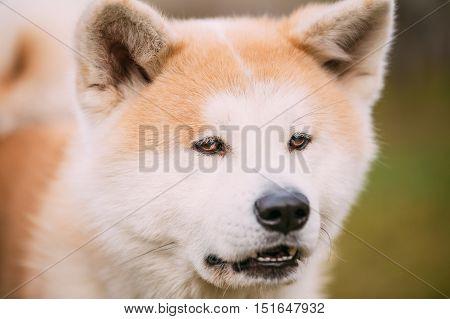 Akita Dog or Akita Inu, Japanese Akita Outdoor. Close Up Portrait