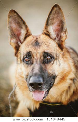 Brown German Shepherd Dog Close Up Portrait. Alsatian Wolf Dog