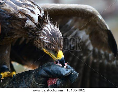 hawk eating flesh from bird fancier hand