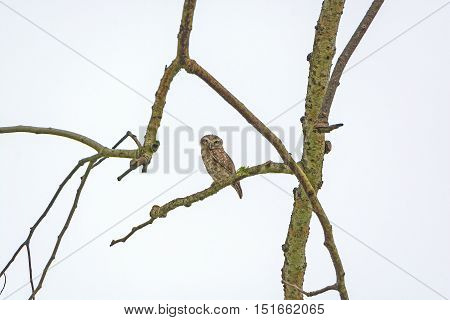 Spotted Owlet in a Tree in Kaziranga National Park in India