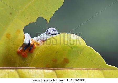 Tree frog, javan tree frog is hiding behind the leaves