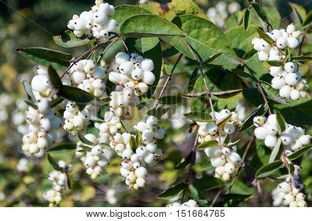 Bush with berries Symphoricarpos albus. Like as popcorn.