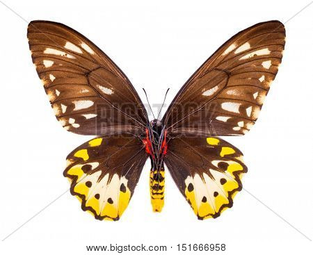 Ornithoptera, Goliath Samson or Arfakensis. Beautiful colorful butterfly with brown and yellow wings isolated on white.