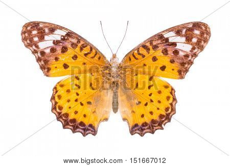 Argynnis hyperbius. Indian Fritillary. Beautiful colorful butterfly. Moth isolated on white.