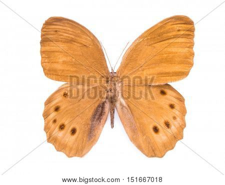 Scarce Copper. Beautiful colorful butterfly. Moth isolated on white.