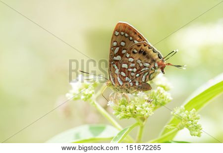 Butterfly name Aberrant Silverline in the nature.