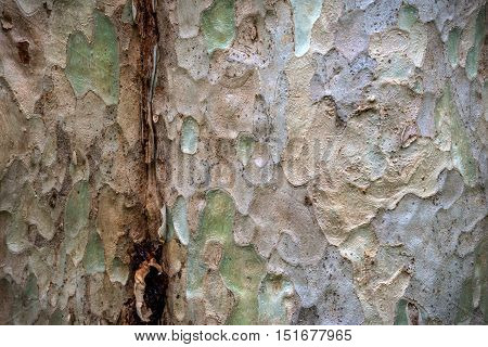 Bark Of Tree In Nature. Seamless Texture, Photographed By Close Up.