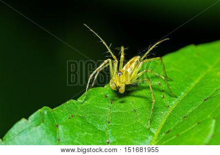 Green Lynx Spider (Peucetia viridans Green Lynx Alabama) waiting for prey on green leaf at night scene