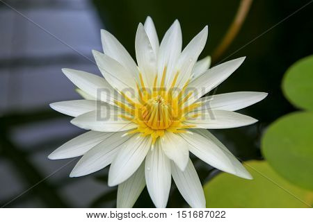 Close Up Of Cream White Water Lily Flower In Wellington
