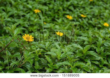 beautiful Creeping Daisy among the green leaves