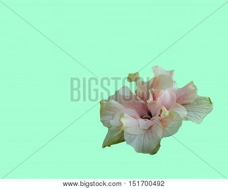 Pink hibiscus flower with petals stamens and pistil on a light background tender