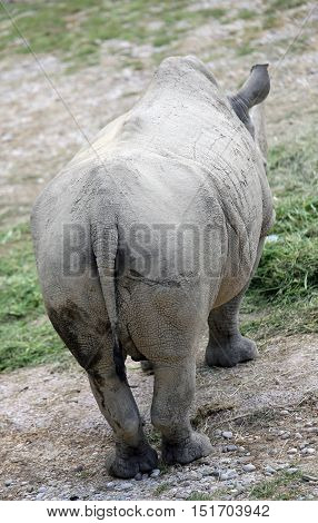 Big Back Of The Majestic Rhinoceros Seen From Behind