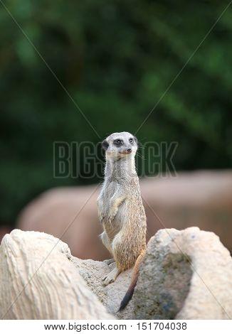 Little Meerkat Standing In The Desert