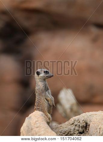 Little Meerkat Standing In The Stone