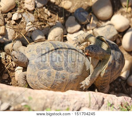 Two Large Turtles While They Mate