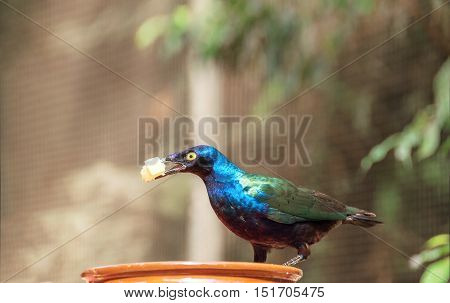 Beautiful shiny bird. Cape Glossy Starling Lamprotornis Glossy Starling from the Africa. Cute bird with food in its beak eats fruits.