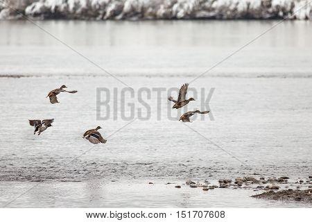 A flock of wild ducks in flight