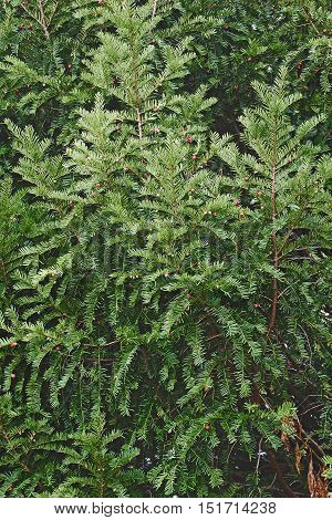 Englis jew (Taxus baccata). Called European jew also