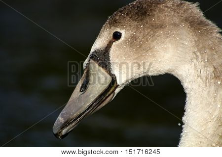 A Mute Swan cygnet portrait against a dark background