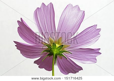 Garden cosmos (Cosmos bipinnatus). Called Mexican Aster and Cut Leaf Cosmos also. Image of flower isolated on white background