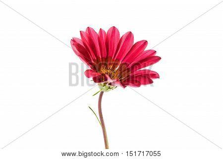 beautiful gazania flower romance symbol isolated on white background