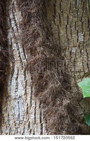Hairy stem of Poison ivy (Toxicodendron radicans). Called Eastern poison ivy also