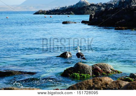 Long shot of a seagull sitting on a rock in the ocean at the beach of Bahia Inglesa in Chile, South America