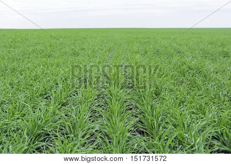 On the field growing green grass, young wheat grass to the horizon, autumn, Russia, Tula