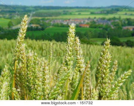 Wheat Field In Limburg, The Netherlands