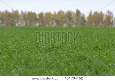 Field with green sprouts of winter wheat grass background trees with coloured leaves yellow green orange autumn temperate zone Russia Tula oblast