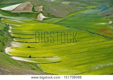 Castelluccio di Norcia (Umbria) 24.06.2012. Cultivation of lentils, the Famous lentils of Castelluccio