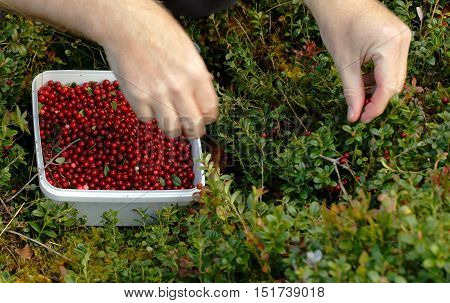Two hands are seen picking lingonberries in the Scandinavian nature to a white plastic box.
