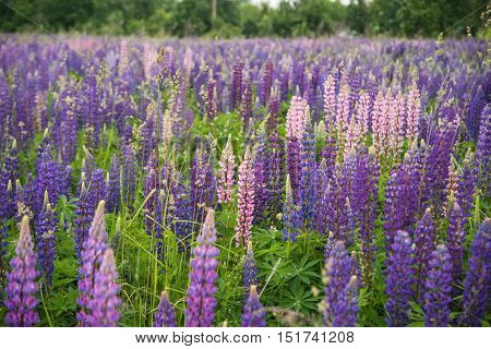 pink and purple Lupins in Arrowtown New Zealand