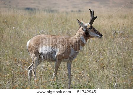 A Pronghorn Antelope standing in a field.