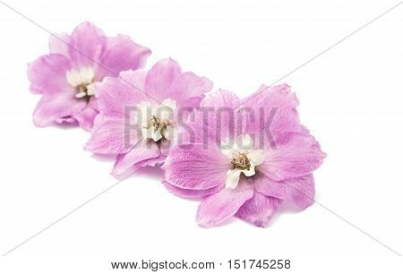 beauty violet delphinium flower isolated on white