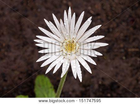 Single White Barberton Daisy Covered With Raindrops
