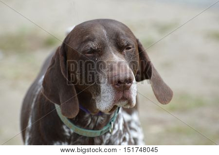 A German shorthaired pointer dog just after waking up from a nap.