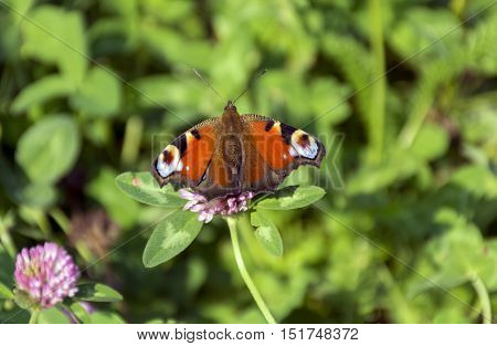 butterfly Inachis io Nymphalidae Peacock with orange white and blue pattern peacock feather wings sitting on a green meadow on the flower of a trefoil autumn Russia
