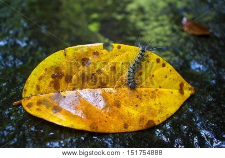 Caterpillar on yellow leaf. Fluffy and hairy caterpillar crawling on autumn leaf. Natural stone on background. Small caterpillar in the forest. Fall season natural scene. Caterpillar eating a leaf