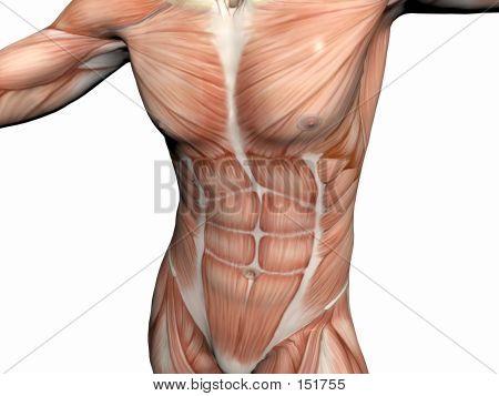 Anatomy Of The Man, Muscular Man.