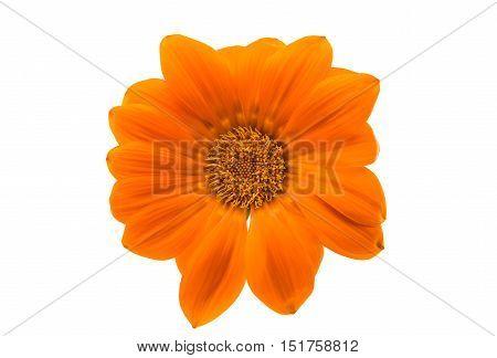 beautiful orange gazania isolated on white background