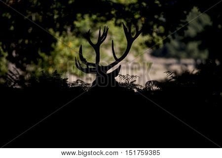 Red Deer Stag Cervus Elaphus Taking A Breather During Rut Season In Autumn Fall Forest Landscape